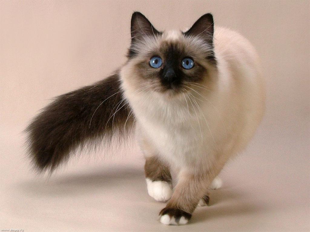 Вам могут понравиться Сиамские кошки, гладкие, без шерсти, очень живые