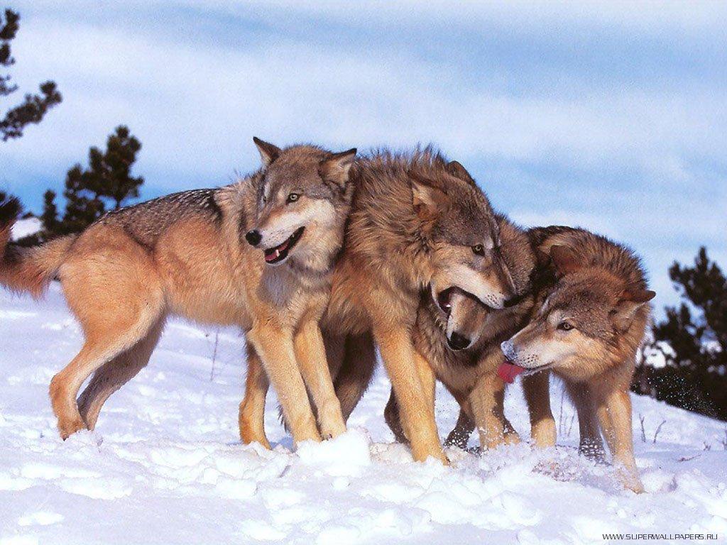 Фотографии живой природы Волки .